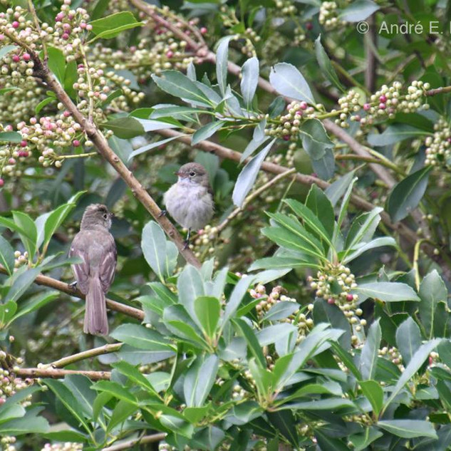 Elaenia mesoleuca, conhecido popularmente como Tuque, se alimentando de frutos durante o início do amadurecimento