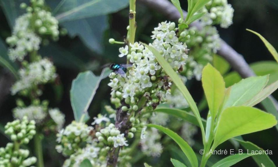 Moscas varejeiras também se alimentam do néctar das flores da erva-mate