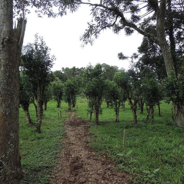 Os ervais cujo manejo deriva de práticas agroflorestais, com sombreamento e associação com outras espécies é uma característica do sistemas tradicionais. Este erval localiza-se em Santa Catarina, no município de Canoinhas, no Planalto Norte Catarinense.