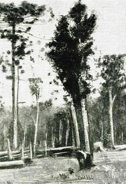 arvores_yerba_pinos_1898.jpg