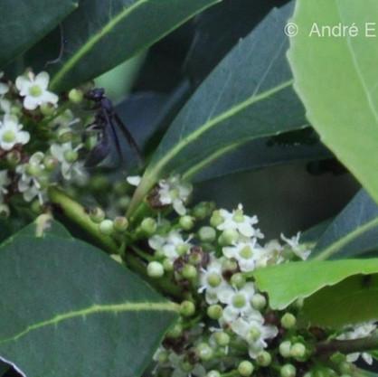 Vespas usualmente visitam as flores da erva-mate