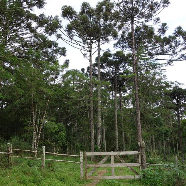 Na região entre São Mateus do Sul e a Lapa, no Paraná, a família Silveira recupera uma antiga área degradada com o desenvolvimento de um erval que associa pinheiros do paraná, imbuias e outras espécies nativas.