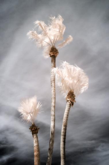 Palm Study 08