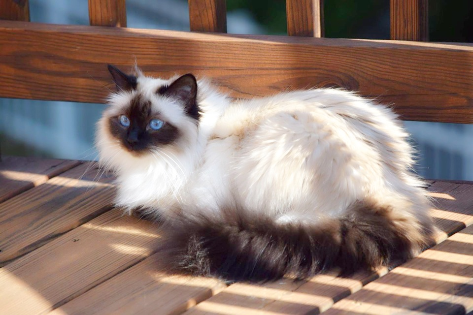 Our First Birman