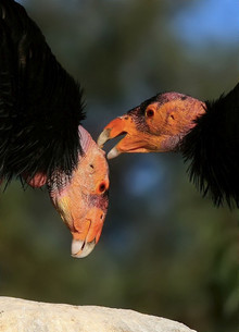 Research and Media Highlight: California Condor Feasibility Analysis in Northern California