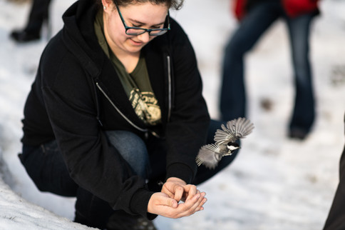 Releasing a banded Black-capped Chickadee