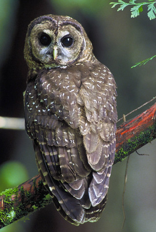 Review of the Science Directly Related to the Effects of Fire on Spotted Owls and their Habitat