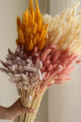 Pastell-Lagurus, Hasenschwanzgras, Bunny tails