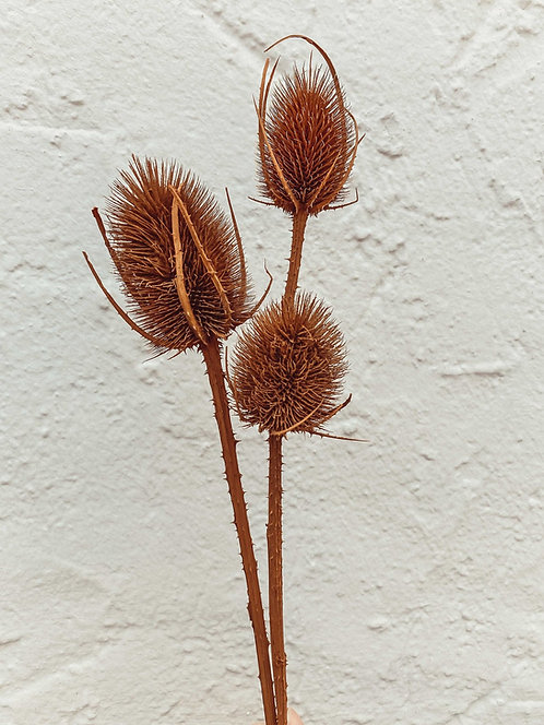 Braune Distel Trockenblume