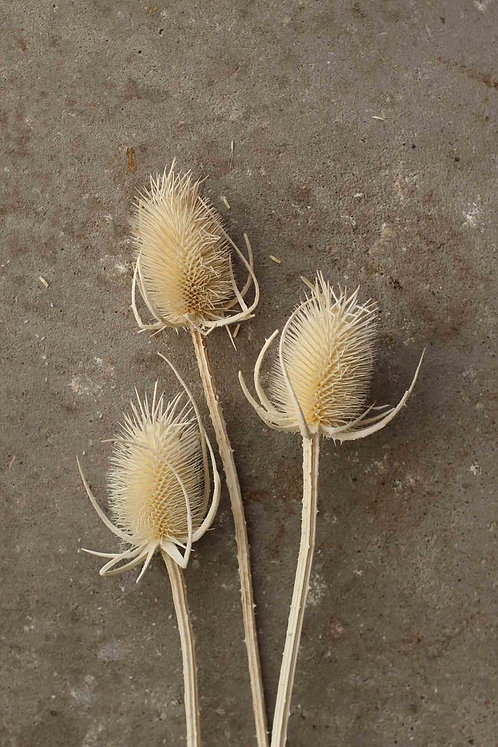 Distel Trockenblume