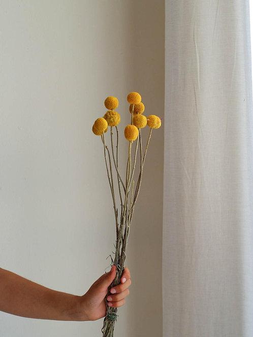 Gelbe Kugel Trockenblume | Craspedia, Trommelstock | natur gelb | pompom Trocken