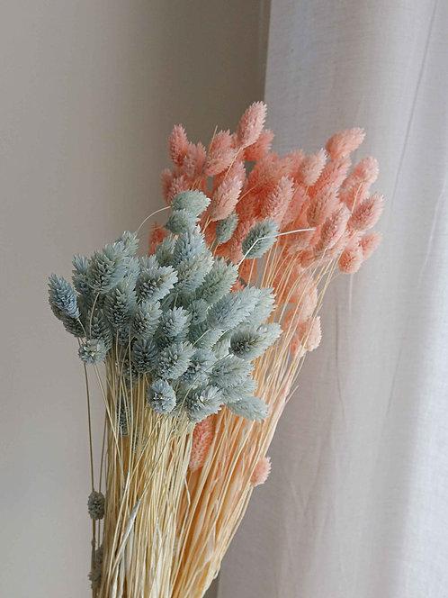 Pastellfarbener Phalaris, Trockenblume