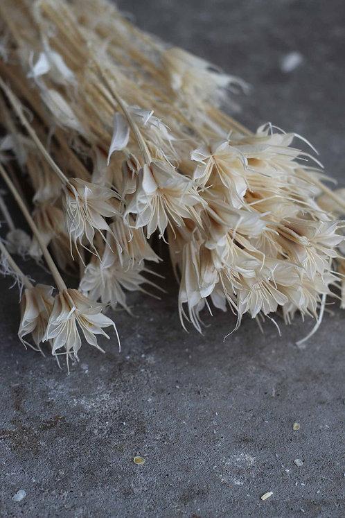 weiße sternförmige Trockenblume Nigella Orientalis