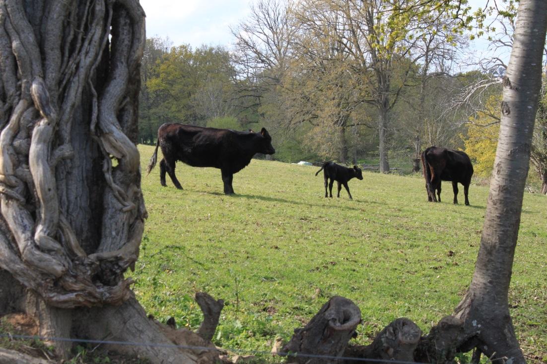 Notre élevage Angus