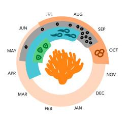 Coral Cycle Diagram — Vector