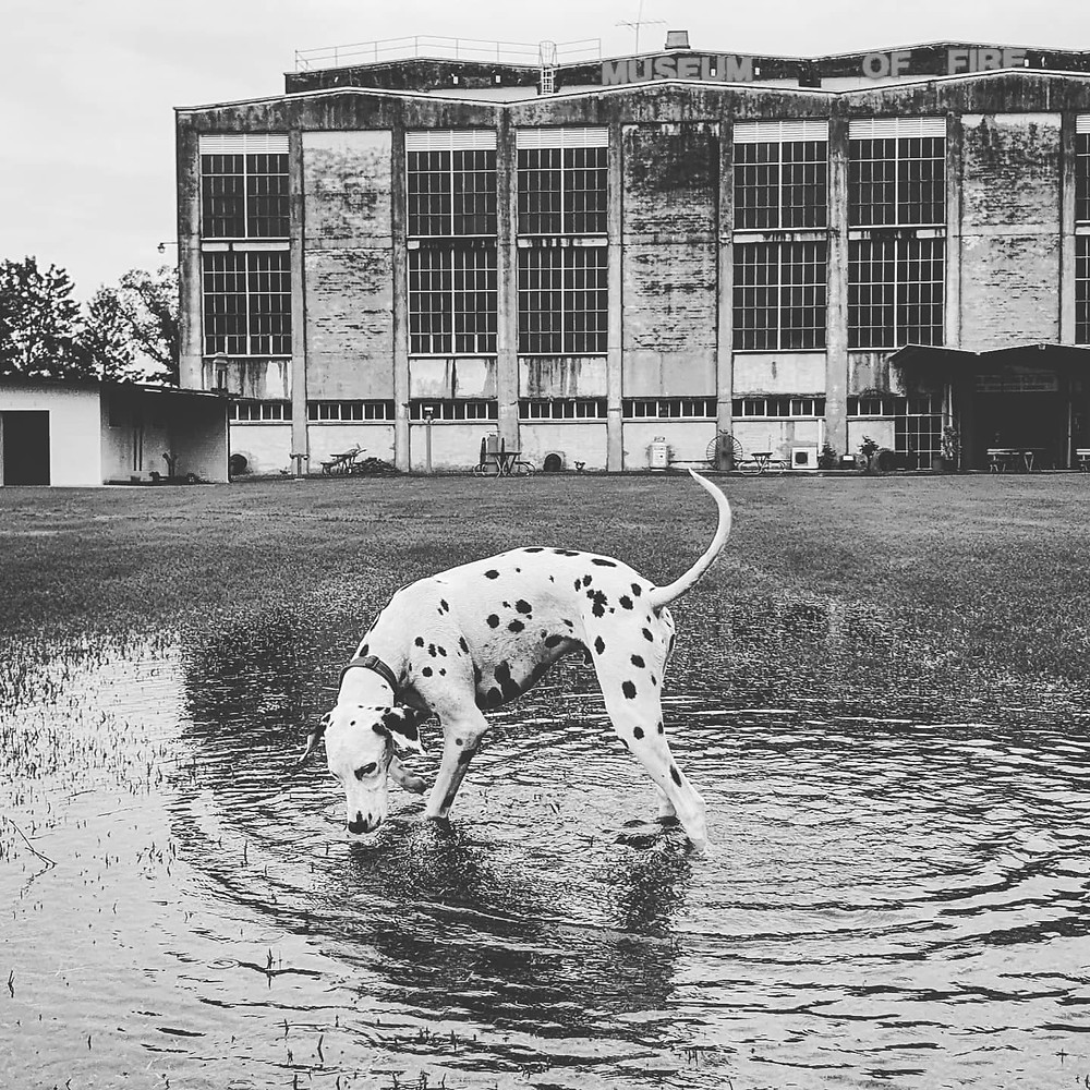 Our Museum mascot Duke inspects the Museum grounds on Sunday 21st March 2021