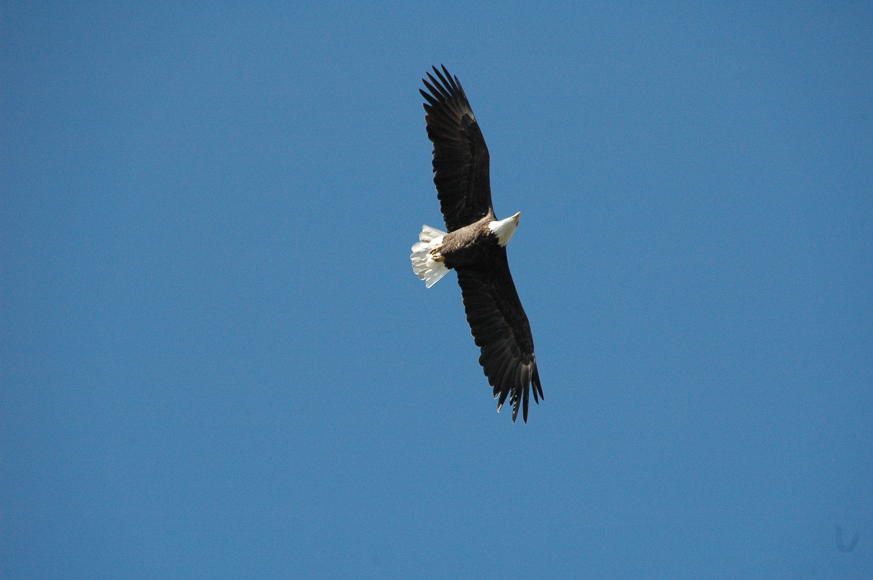 BALD EAGLE ROCKTON IL -cd.JPG