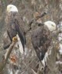 bald eagles-cd.jpeg