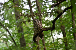 Young Barred Owl - Cathy Hoover.jpg