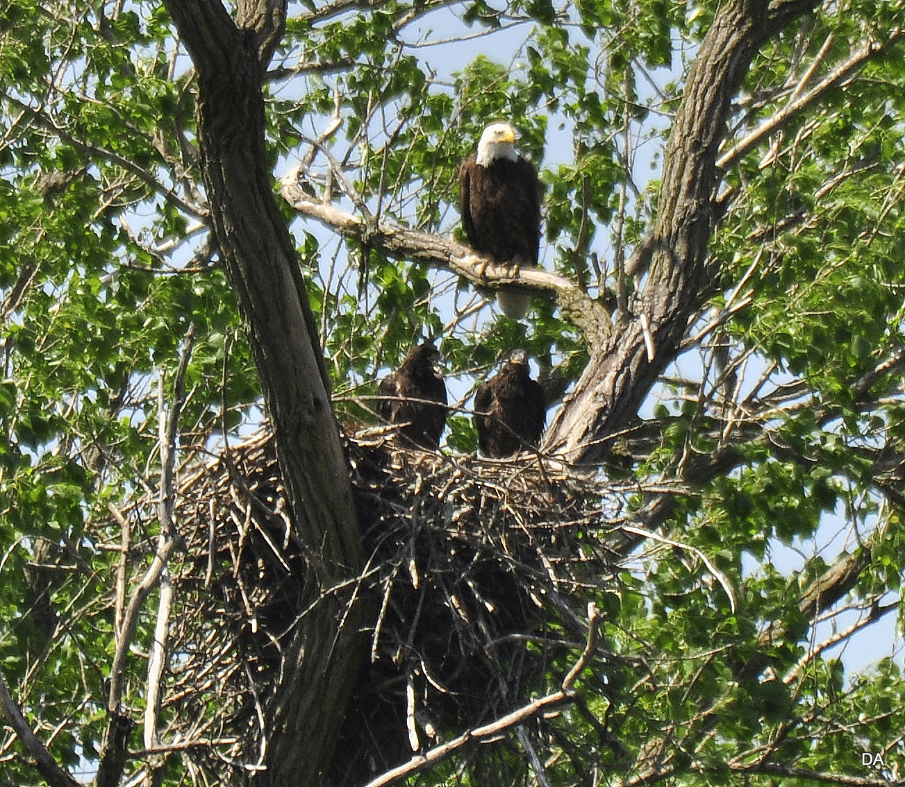 BALD EAGLE ADULT AND JUVENILES S. BELOIT IL -Patty Litten - South Beloit.JPG