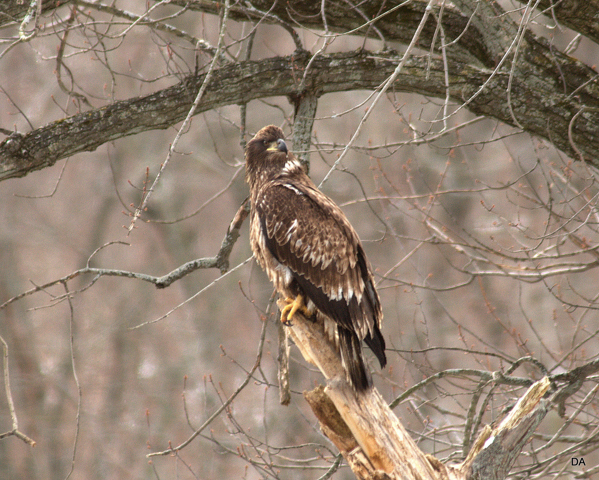 JUVENILE BALD EAGLE ROCKTON IL-cd.jpg