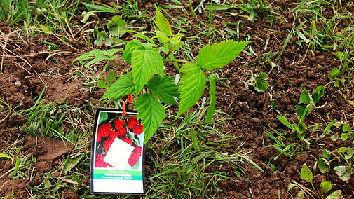 beans, garden, food, harvest, homeless, crop, grow, raspberries