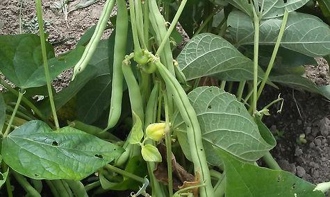 beans, garden, food, harvest, homeless, crop, grow