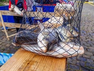 5° Feira do Peixe vivo acontece na quinta em Campo Belo do Sul