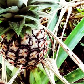 Palmuviinatehdas viidakon siimeksessä