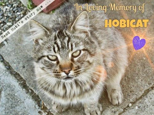 In Loving Memory of Hobicat ❤