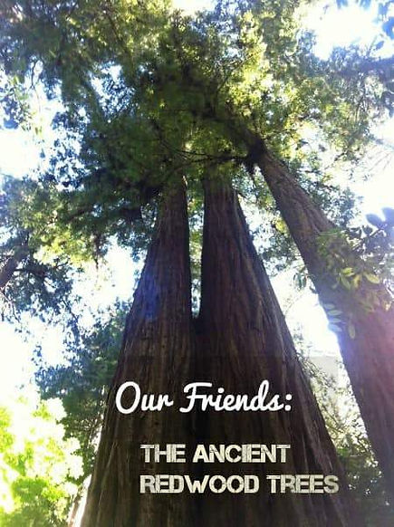 Our Friends: The Ancient Redwood Trees - BellaRoseandFriends.com