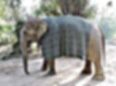 Elephant wearing a blanket