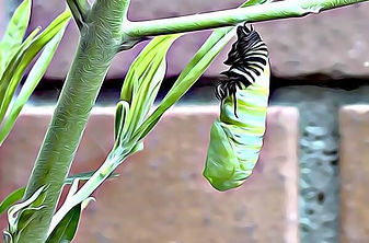 Caterpillar in a partial cocoon