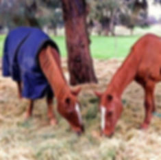 Two horses eating - one wearing a blanket