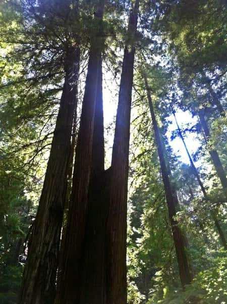 The redwoods grow in fairy rings - BellaRoseandFriends.com