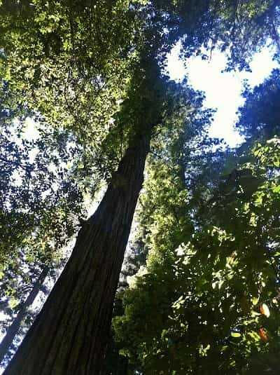 Picture of a Redwood Forest Tree Angel