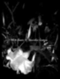 WHITE FLOWER BW  STANISLAV GROMOV NY.jpg