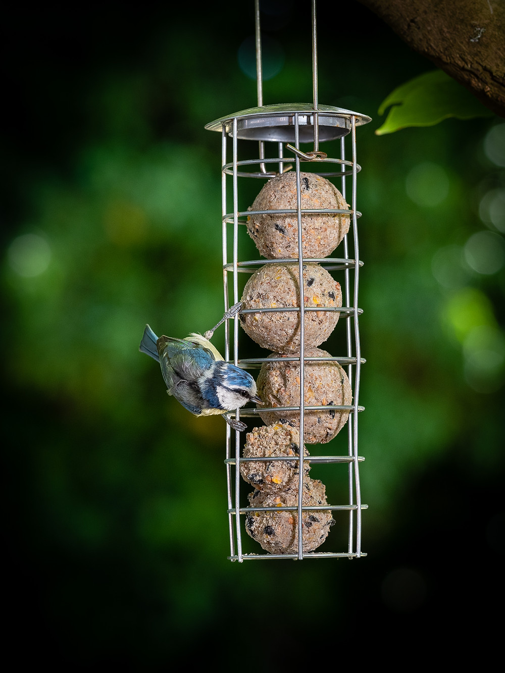 Blue Tit busy feeding