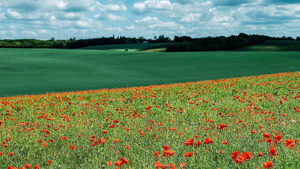 field of poppies against green field in background