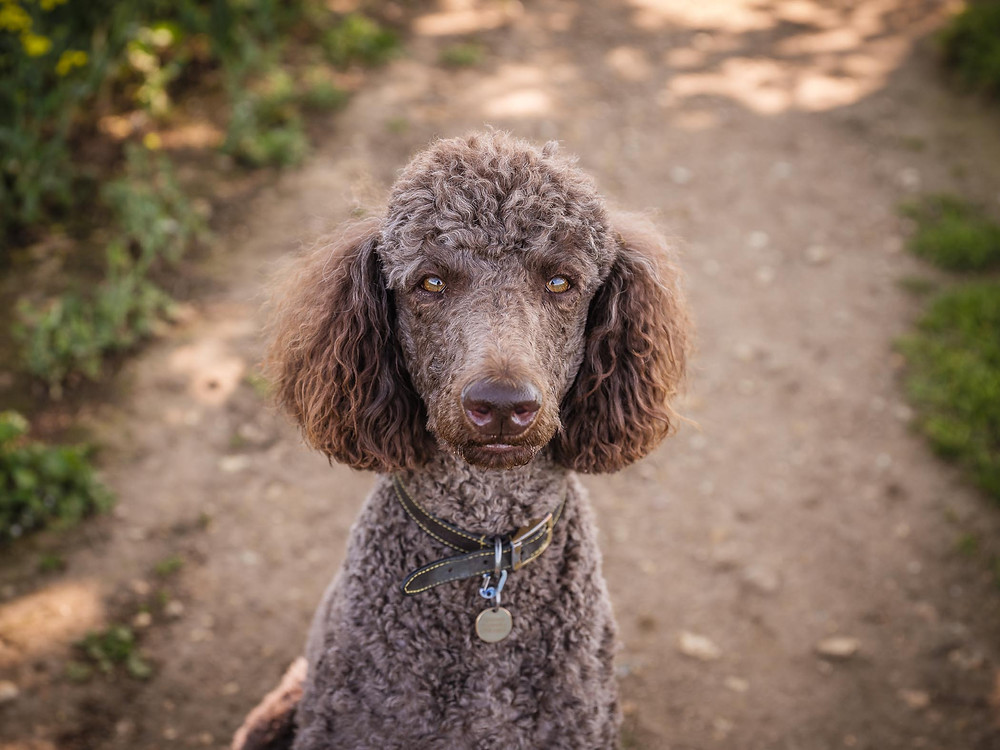 GFX image of standard poodle