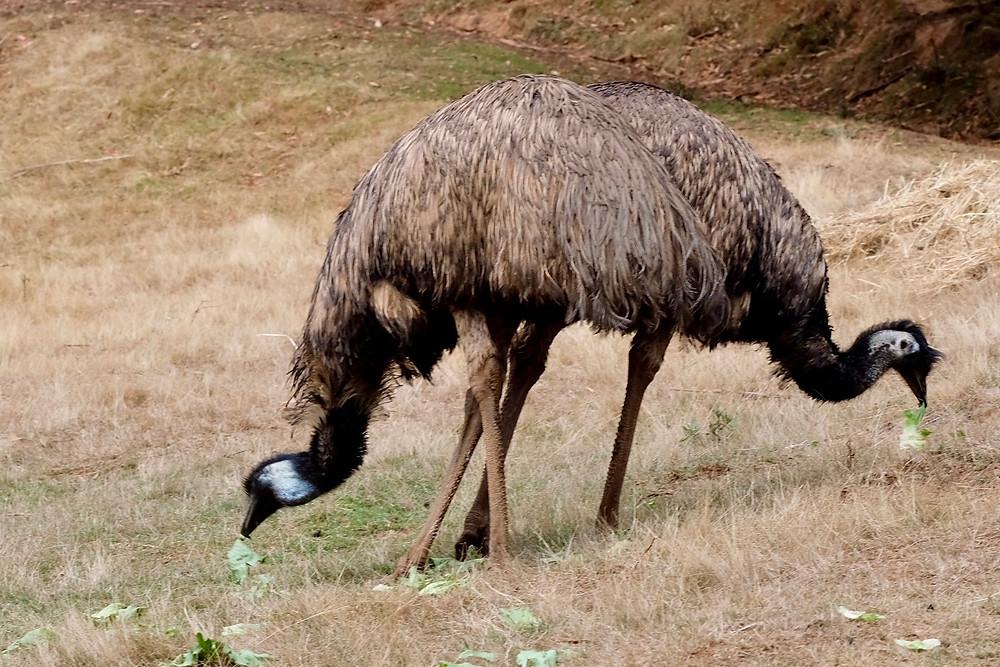 Emus in Tasmania