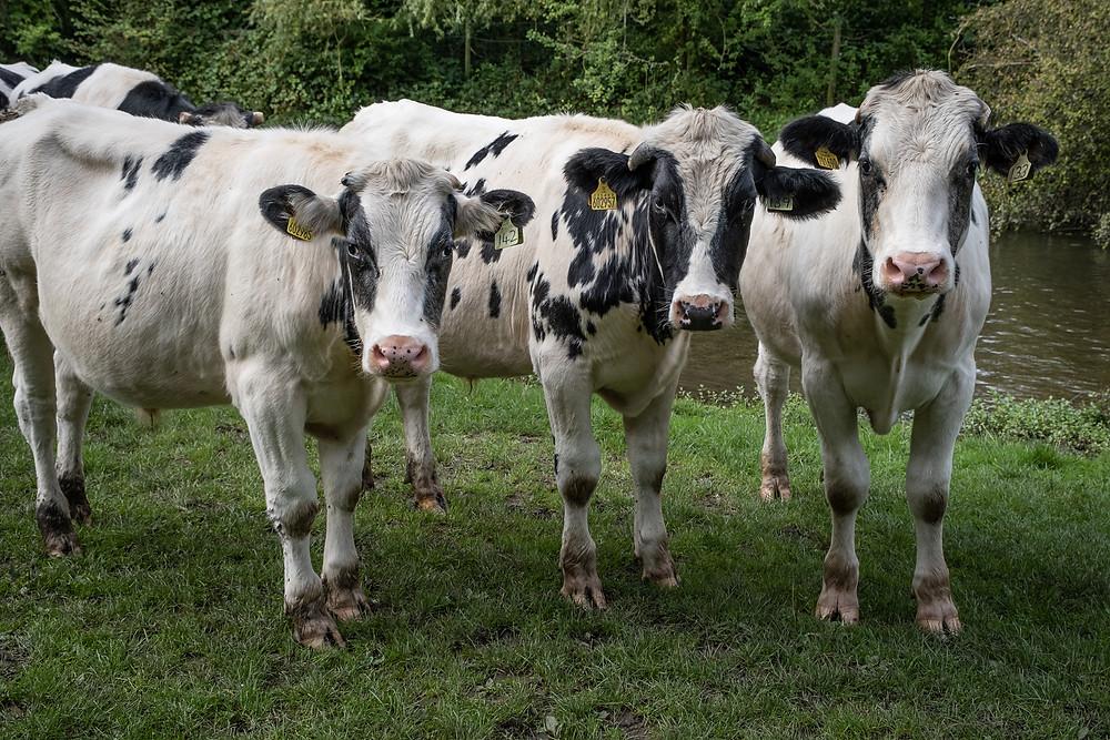 Cows at Waterford Marsh near Hertford shot with Fujifilm XT4