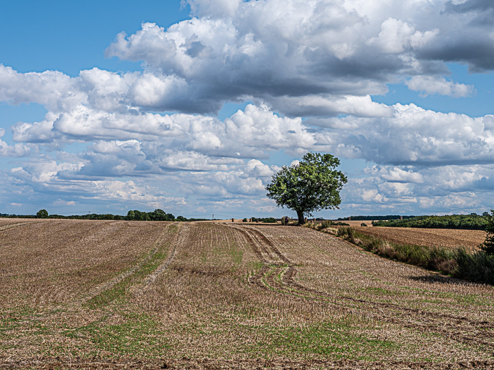 A lone tree in the landscape Hertfordshire England August