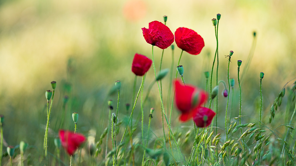 Isolated poppies