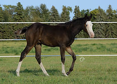 Black Splash White 2, Black frame overo colt