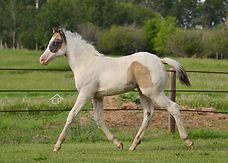 Grulla grullo homozygous black homozygous tobiano splash white 1 filly