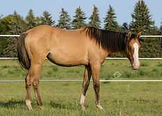 AQHA Dun Splash white filly
