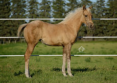 2020 AQHA Palomino Filly