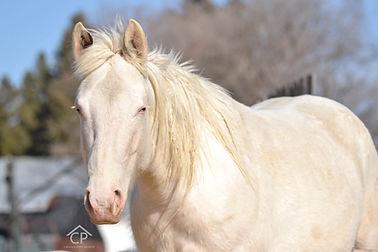 Max white splash white 1 frame overo mare
