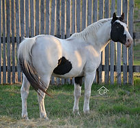 APHA Homozygous Black, Homozygous Tobiano Splash White 1 Stallion Strait Starbuck Robin son of Strait From Texas